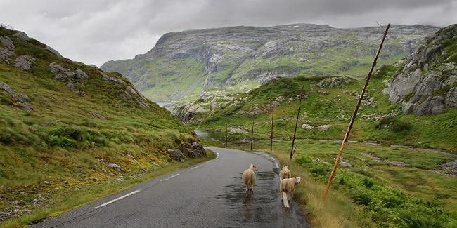 כבשים ליד Svartavatnet
