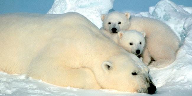 דוב קוטב - האמרפסט