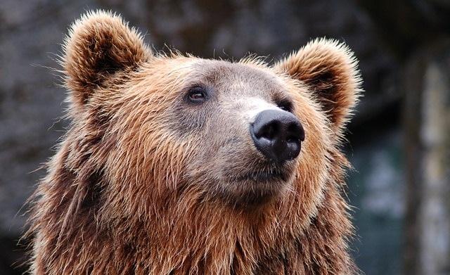דוב חום באיזור פלו
