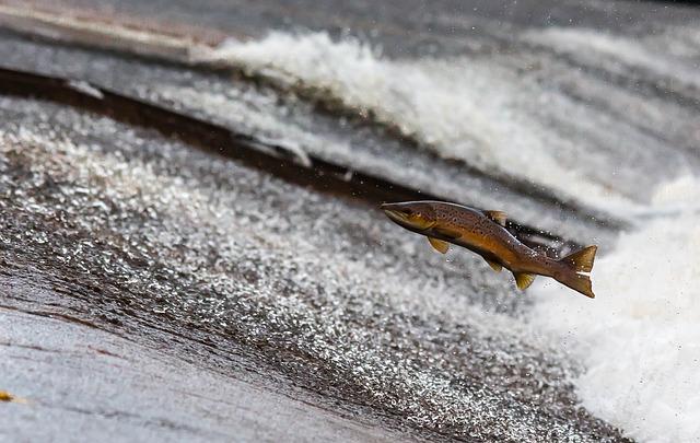 דג סלמון קופץ במעלה הזרם