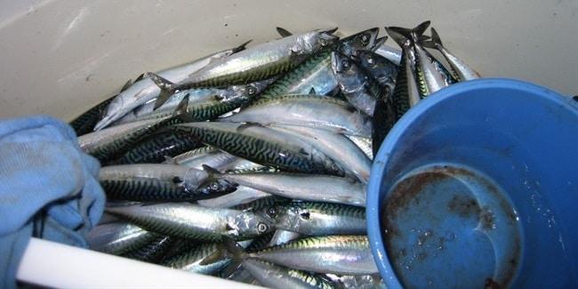 כמות דגי המקרל אחרי דיג ספורטיבי של שעתיים