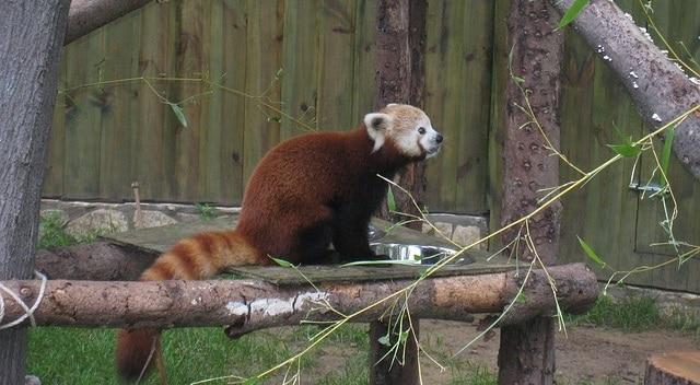 פנדה אדומה בגן החיות הקטן - ריזר