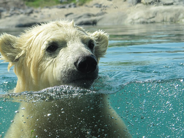 גור של דוב קוטב