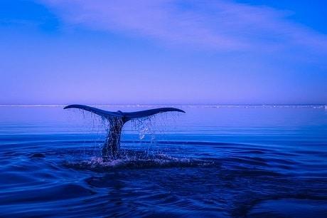 לוויתנים בנורבגיה - עותק