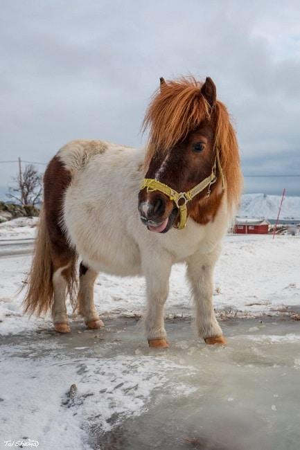 סוס נורבגי